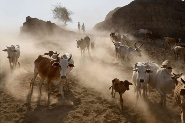 Chăn nuôi ở Châu Phi