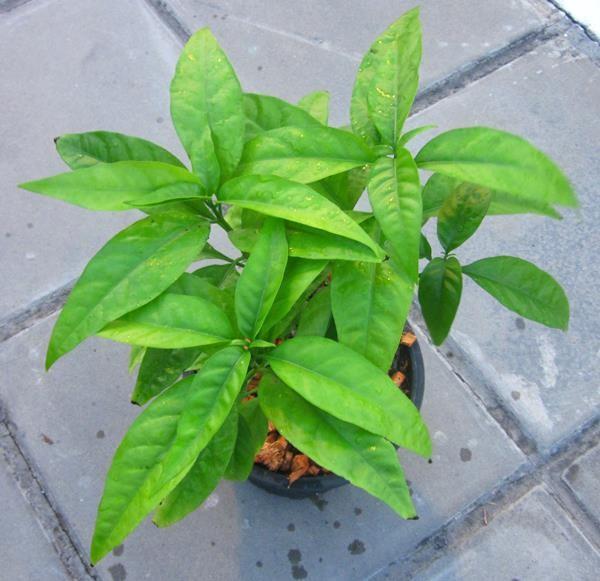 Cây Tu lình được trồng trong chậu