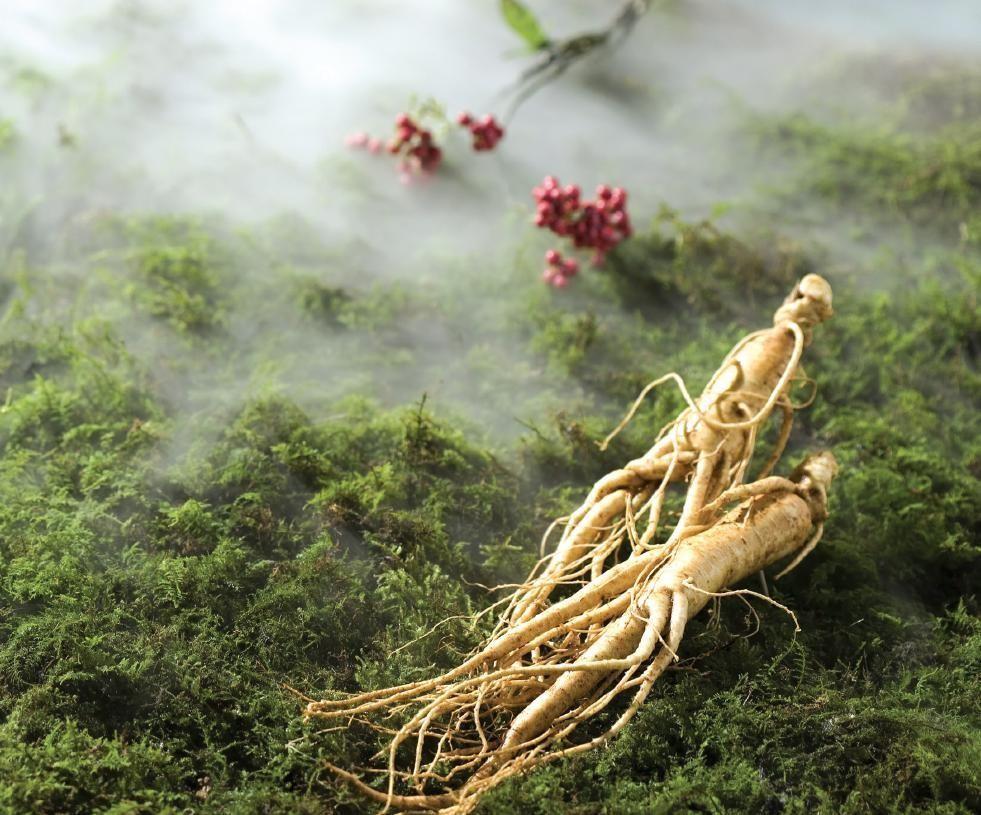 Hồng sâm Geumsan được trồng trên vùng đất 1500 năm tuổi
