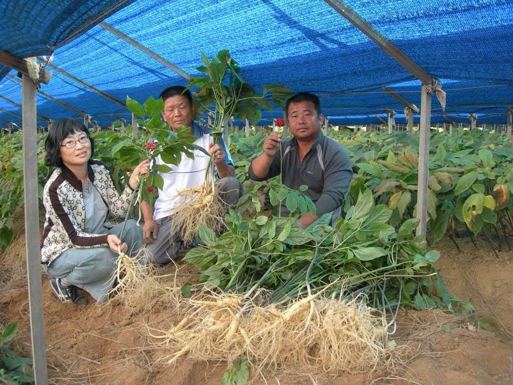 Thu hoạch nhân sâm Hàn Quốc.