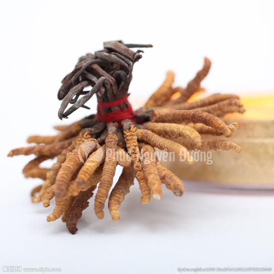 Đông trùng hạ thảo là con sâu hay cây cỏ