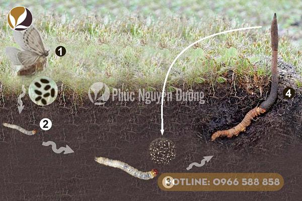 Đông trùng hạ thảo vừa là động vật, vừa là thực vật